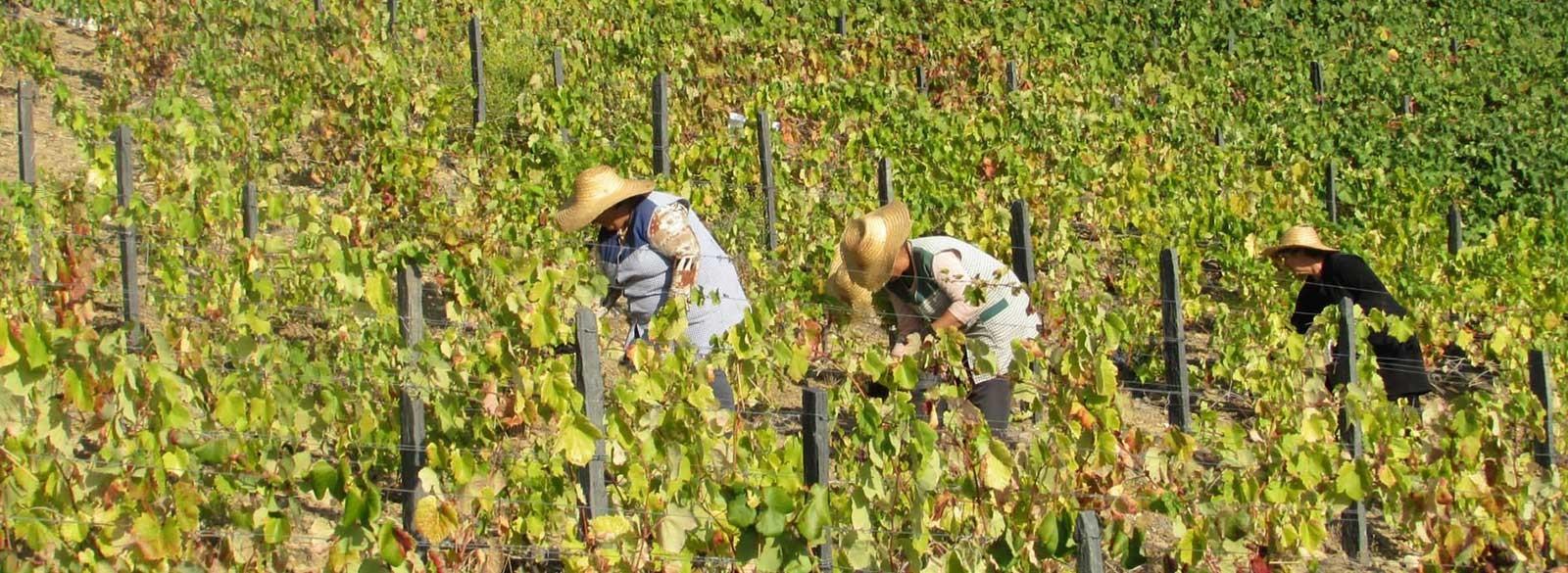 Portugal, el país de las 500 variedades de uva