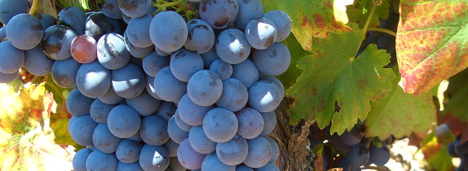 Mencía, la uva tinta del Bierzo