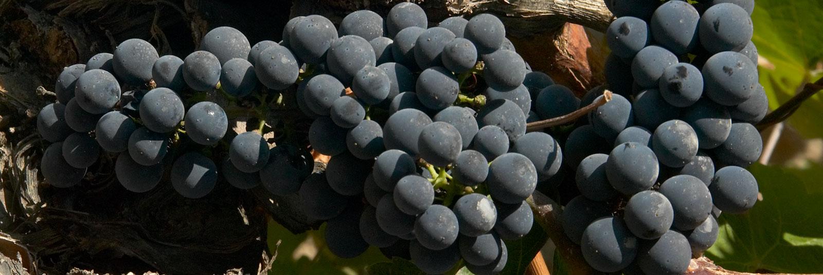 La uva con más nombres distintos