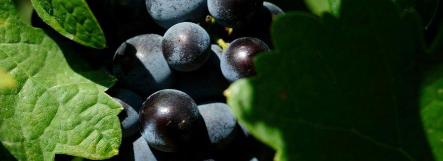 La Monastrell, una uva muy mediterránea
