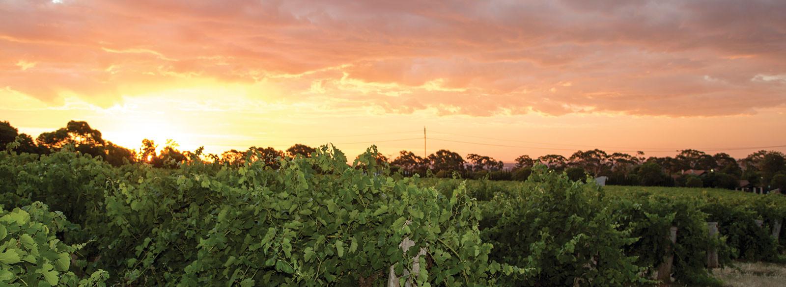 Breve historia de la viticultura en Australia