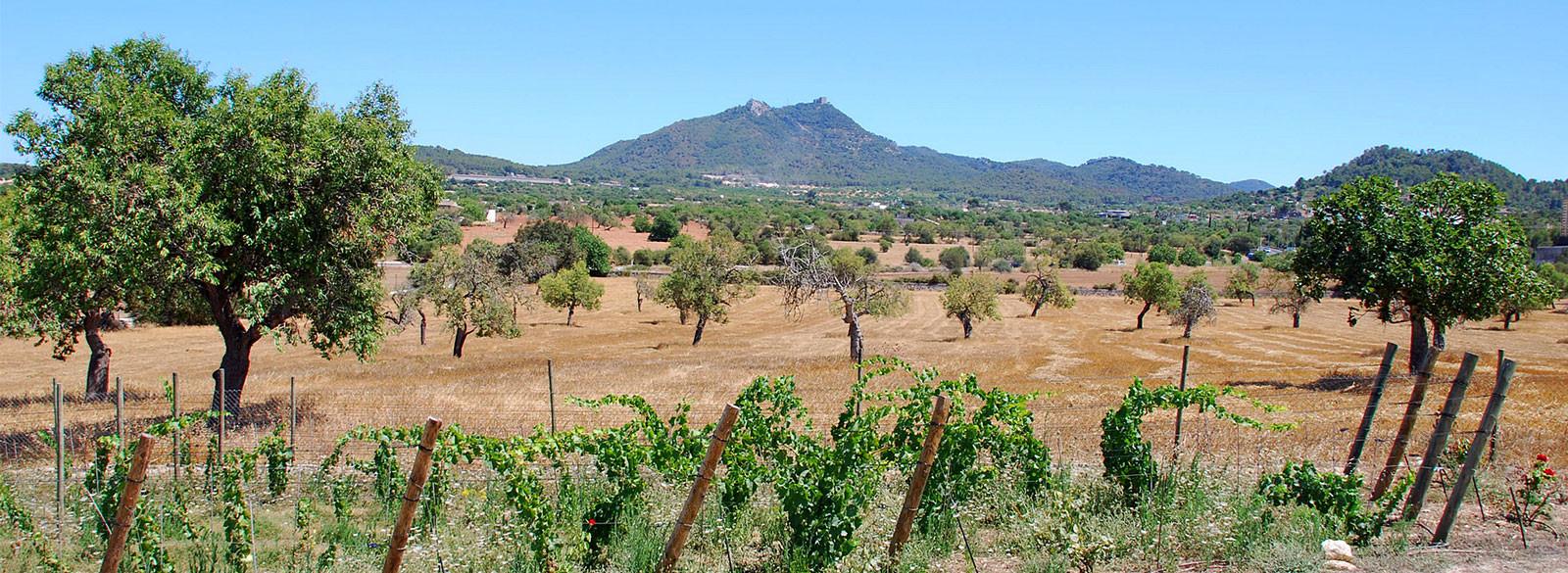 Mallorca, un tesoro de uvas autóctonas