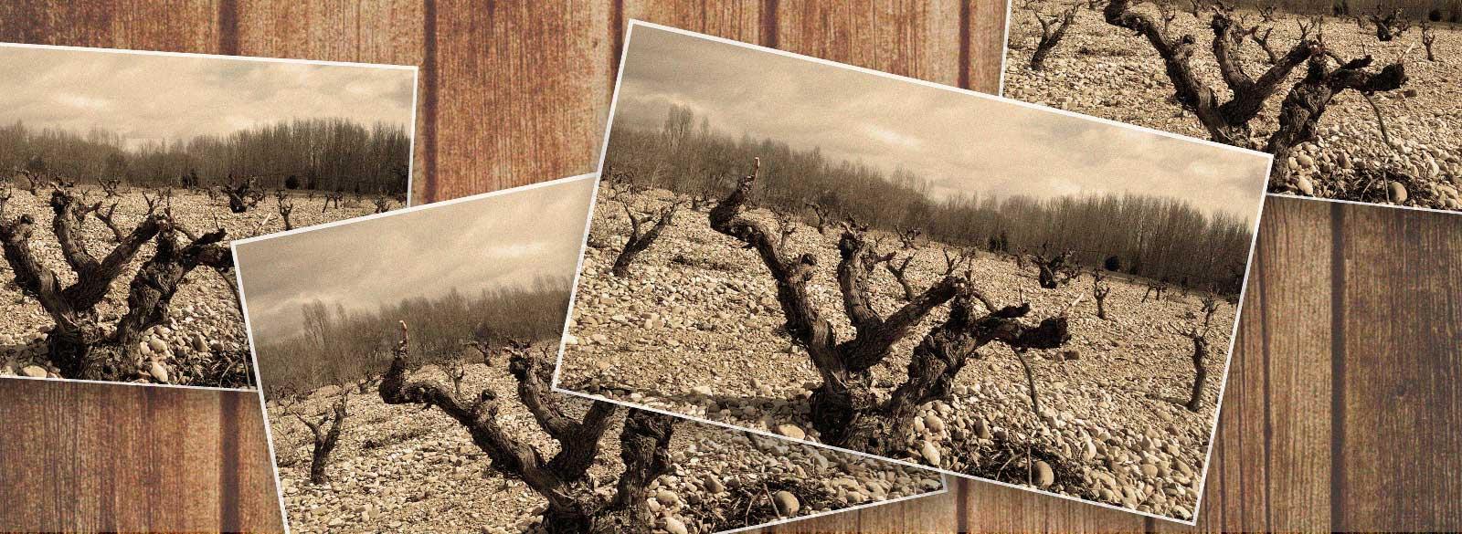 La conexión con la historia de las viñas viejas