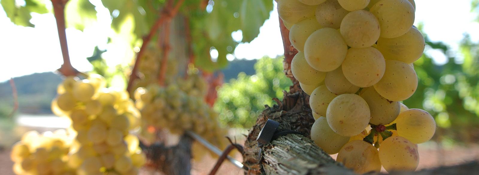 Así es la Albillo Mayor, la uva de los blancos de la DO Ribera del Duero