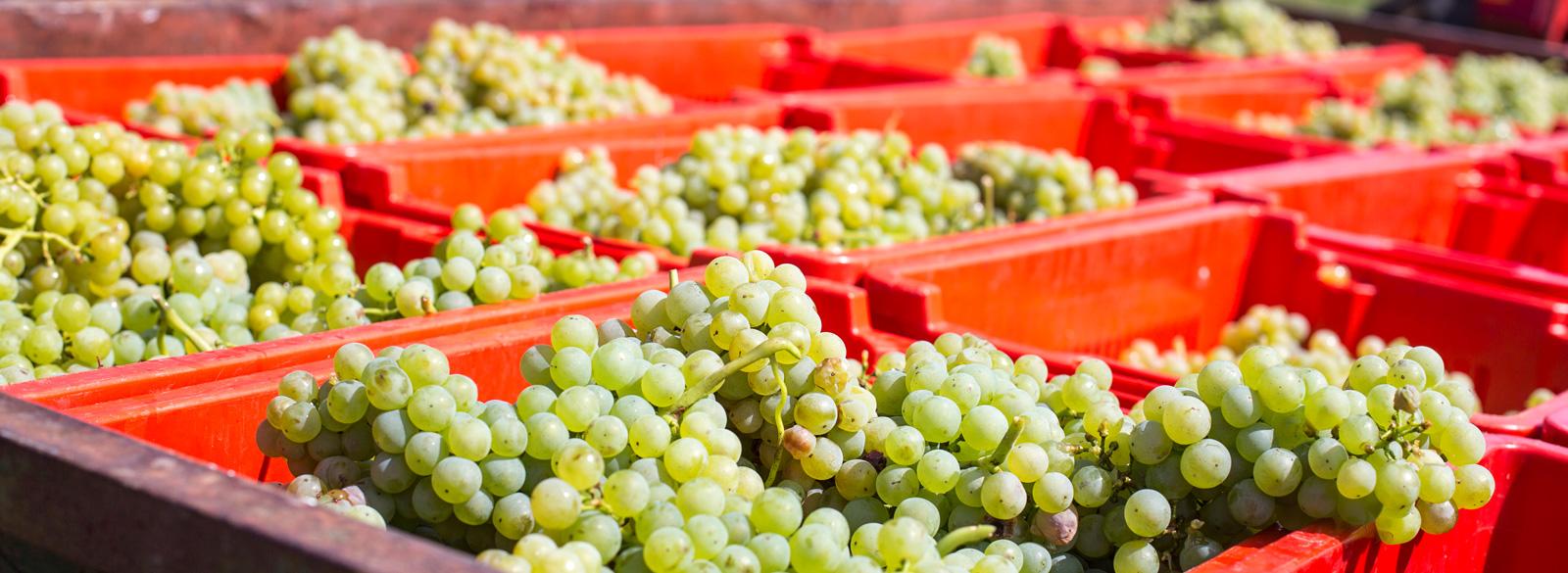 Chardonnay: una uva con 'sex appeal' internacional