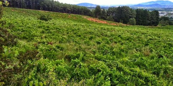 Imagen de los viñedos en El Bierzo