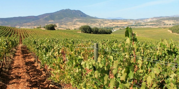 Las viñas dispuestas en hileras