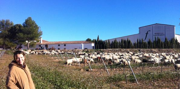 bodega y ovejas