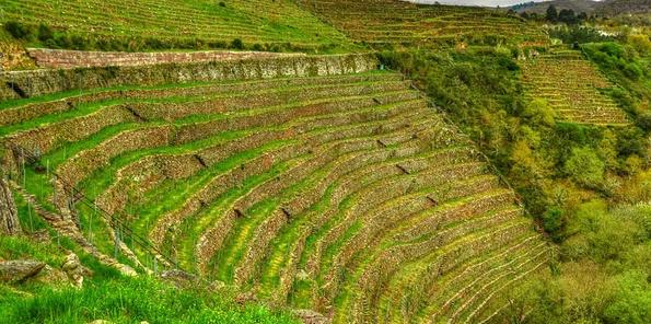 Ejemplo de uno de los viñedos de Algueira, en plena pendiente