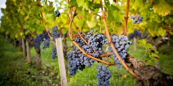 Uvas de las viñas de Bernard Magrez