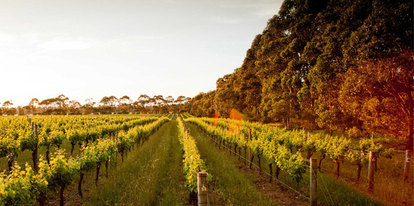 Imagen de viñedos al caer el sol