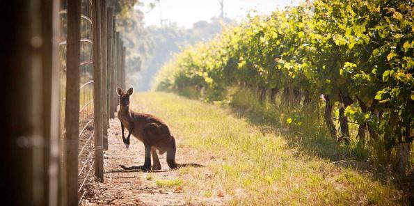 Un canguro entre viñas