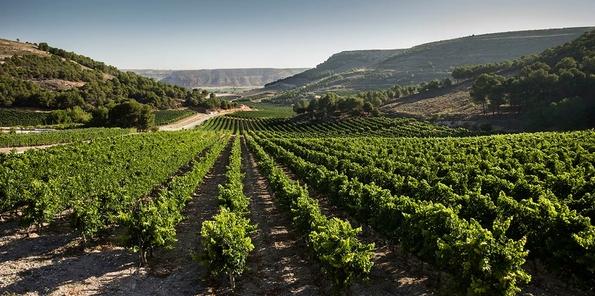 Panorámica de viñedo