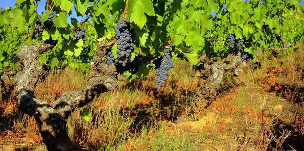 Vista de las uvas en plena maduración