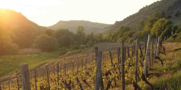 Puesta de sol en el viñedo