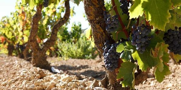 Uvas en la última fase de maduración