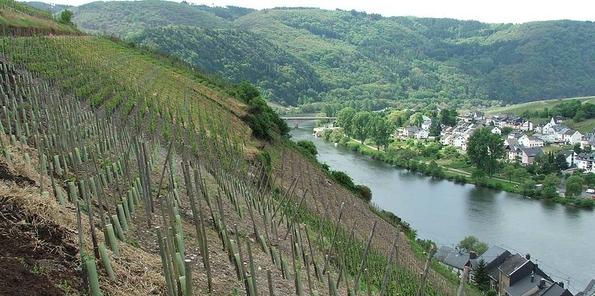 Viñedo en ladera situado en Mittelmosel