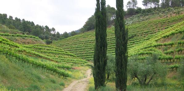 Vista del viñedo ordenado en terrazas