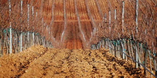 Hileras de viñedos