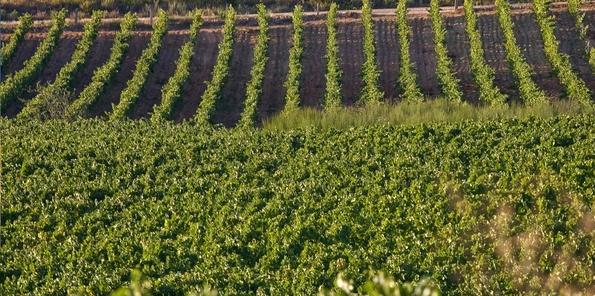 Ejemplo de los viñedos, situados en hileras