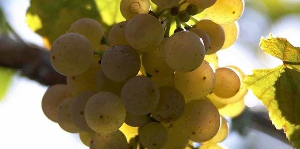 Detalle de las uvas de Zarate