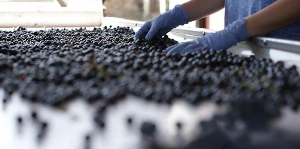 Selección de uva