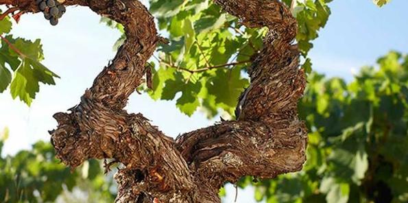 Detalle de viñas