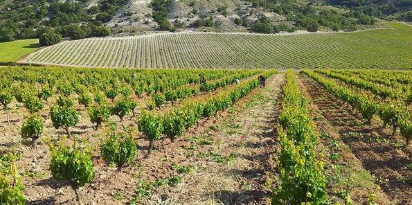 Las viñas ya con hoja