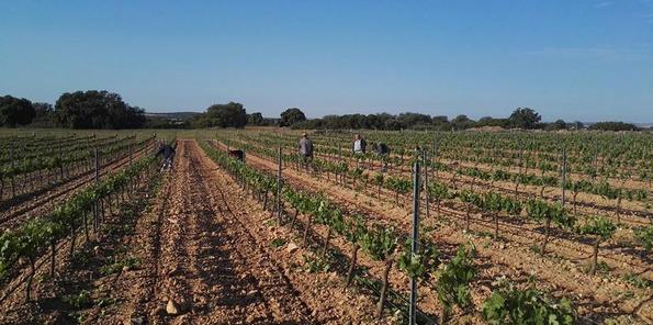 Trabajos en el viñedo