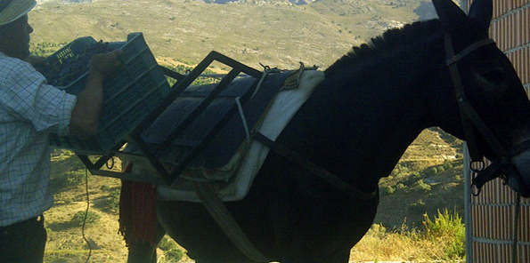 Antonio con el mulo Pancho (ya fallecido)