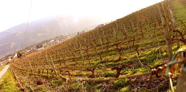 Valdesil cuenta con los viñedos de Godello más antiguos de España