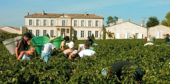 Vendimia en Château Branaire Ducru