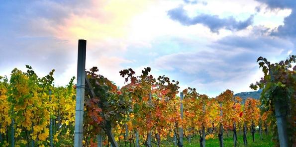 Viñedo de la Azienda M.Giribaldi bajo el sol de Piamonte