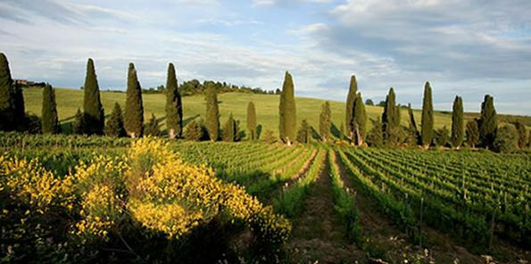 Viñedos plantados con Sangiovese