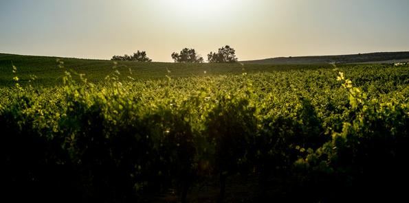 El sol ilumina el viñedo