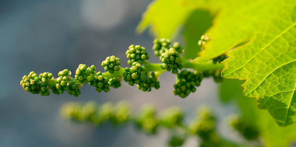 Uvas comenzando a brotar