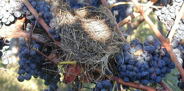 Uvas de los viñedos de Chateau Les Grands Marechaux