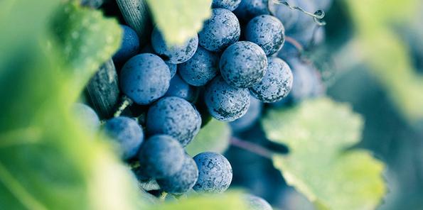 Racimo de uvas tintas