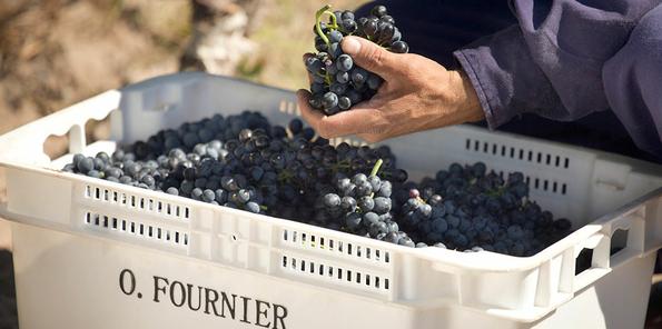 Recogida de la uva en pequeñas cajas