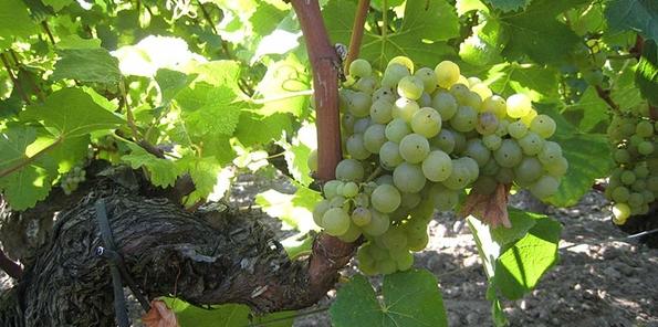 Racimos de uvas blancas