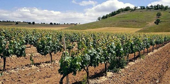 Vista del viñedo de Tinto fino