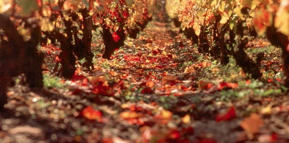 Viñedo en otoño