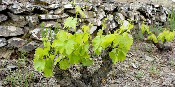 Detalle de una viña centenaria