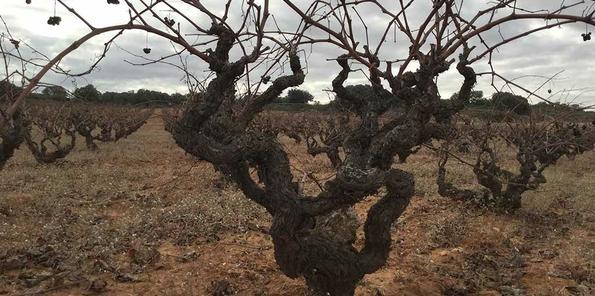 Viñedos de Bobal plantados en pie franco (prefiloxéricos)