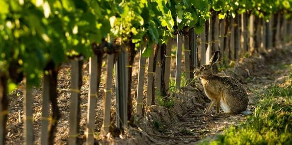 Liebre en viñedos