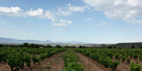 Viñas familiares en Navarrete para su vino El Pedal