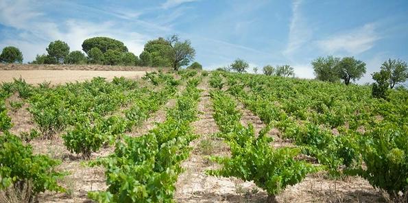 Viñedos en Mucientes de Tempranillo y una pequeña viña de Cabernet sauvignon.