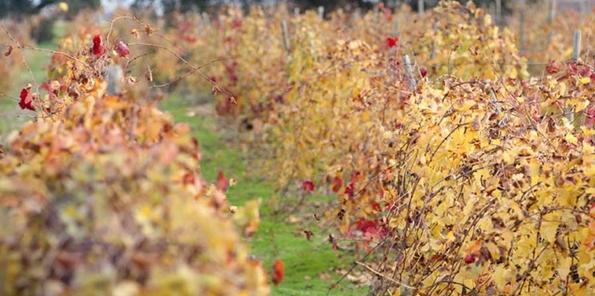 Detalle del viñedo en otoño