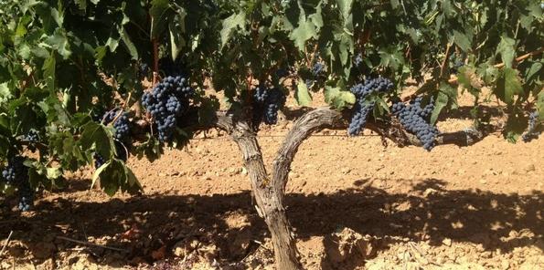 Las uvas durante la maduración