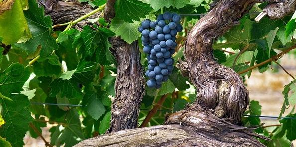 Uvas perfectamente adaptadas al terroir australiano